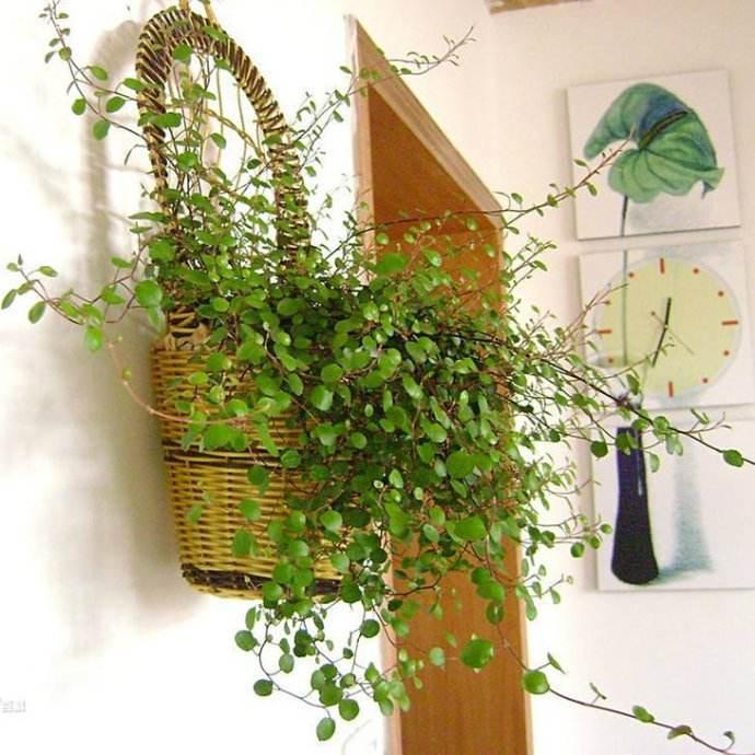 大成园林绿化植物租赁过程中垂盆草具有耐干旱