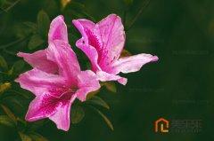 成都植物租赁毛鹃什么时候开花