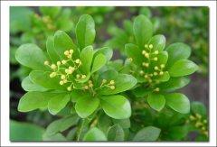 成都植物租赁之米兰花怎么养,米兰花的养殖需要