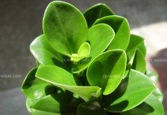 成都植物租摆豆瓣绿怎么养?豆瓣绿可以水培吗