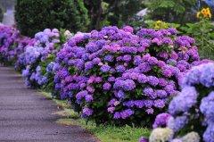 成都植物租摆八仙花图片,八仙花的养殖方法